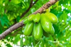 Frutta di averrhoa bilimbi Fotografia Stock Libera da Diritti