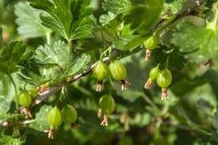 Frutta di bacche dell'uva spina Fotografia Stock