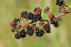 Frutta di Blackberry sul cespuglio di mora Fotografia Stock Libera da Diritti