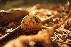 Frutta di caduta sulla terra Immagini Stock Libere da Diritti