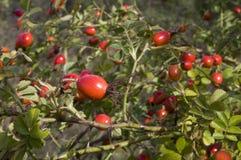 Frutta di canina di Rosa fotografie stock libere da diritti