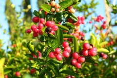 Frutta di carandá del Carissa Fotografia Stock Libera da Diritti