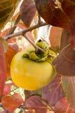 Frutta di diospyros kaki sul ramo di albero Fotografia Stock Libera da Diritti