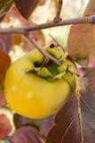 Frutta di diospyros kaki sul ramo di albero Immagini Stock