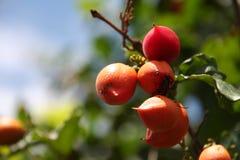 Frutta di Guarana fotografia stock libera da diritti