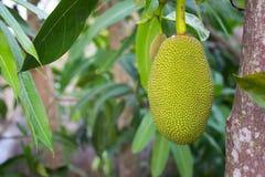 Frutta di Jack sull'albero Fotografie Stock