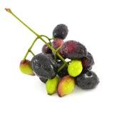 Frutta di Java Plum immagine stock