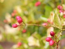 Frutta di Karonda Immagine Stock Libera da Diritti