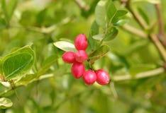 Frutta di Karonda Immagini Stock