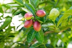 Frutta di Karonda o di Carunda immagini stock