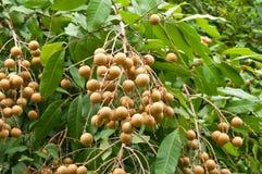Frutta di Longan sull'albero Fotografie Stock Libere da Diritti