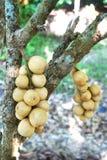 Frutta di Longkong Immagine Stock