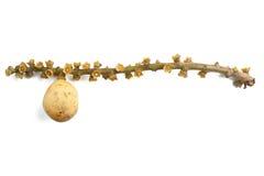 Frutta di Longkong Fotografie Stock