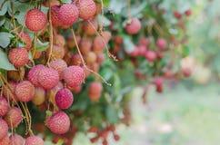 Frutta di Lychee Fotografie Stock Libere da Diritti