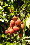 Frutta di Lychee sull'albero Fotografia Stock Libera da Diritti