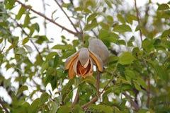 Frutta di marrone dell'albero di mogano fotografia stock