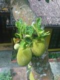 Frutta di pane immagine stock