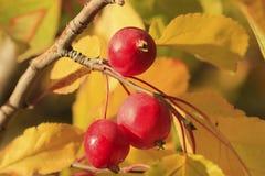 Frutta di pianta legnosa del Chokecherry Fotografia Stock Libera da Diritti