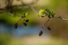 Frutta di pianta legnosa dell'ontano Fotografia Stock Libera da Diritti