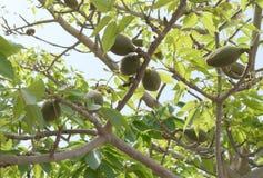 Frutta di pianta legnosa indiana del cotone del bombax Fotografia Stock