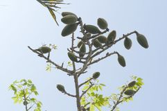 Frutta di pianta legnosa indiana del cotone del bombax Fotografie Stock Libere da Diritti
