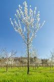 Frutta di pianta legnosa nella primavera Immagine Stock Libera da Diritti