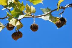Frutta di pianta legnosa piana Immagini Stock