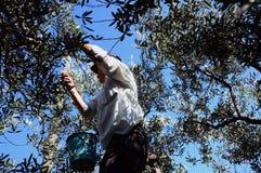 Frutta di raccolto dell'uomo Fotografia Stock Libera da Diritti