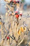 Frutta di rosa selvaggia Fotografia Stock Libera da Diritti