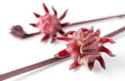 Frutta di rosella sul ramo isolato fotografia stock