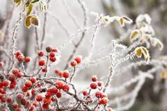 Frutta di rovi e nebbia di congelamento Fotografia Stock Libera da Diritti