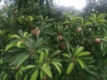 Frutta di Sapuche fotografia stock libera da diritti
