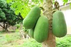 Frutta di un albero di papaia Immagini Stock Libere da Diritti