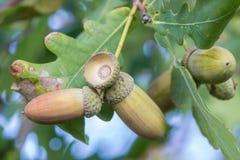 Frutta di una quercia matura in autunno Fotografie Stock