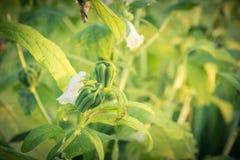 Frutta e fiore di pianta legnosa verdi del sesamo Immagini Stock Libere da Diritti
