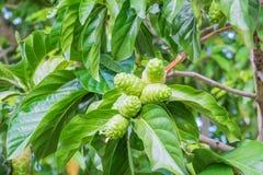 Frutta e foglia di Noni sull'albero Immagini Stock