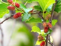 Frutta e foglie verdi del gelso sull'albero Il gelso questo una frutta e può essere mangiato dentro ha un colore rosso e porpora  Fotografia Stock Libera da Diritti