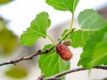 Frutta e foglie verdi del gelso sull'albero Il gelso questo una frutta e può essere mangiato dentro ha un colore rosso e porpora  Immagini Stock Libere da Diritti