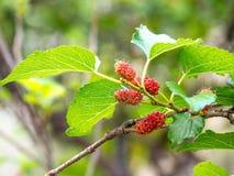Frutta e foglie verdi del gelso sull'albero Il gelso questo una frutta e può essere mangiato dentro ha un colore rosso e porpora  Immagine Stock