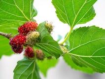 Frutta e foglie verdi del gelso sull'albero Il gelso questo una frutta e può essere mangiato dentro ha un colore rosso e porpora  Fotografie Stock Libere da Diritti