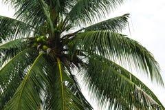 Frutta ed albero della noce di cocco Immagine Stock Libera da Diritti