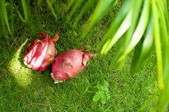 Frutta esotica del Vietnam sulla natura morta di punto di vista superiore dell'erba fotografia stock libera da diritti