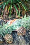 Frutta esotica tropicale fresca dell'ananas sulla spiaggia Isola di Parardise di Bali Borsa della spiaggia Fotografie Stock Libere da Diritti
