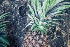 Frutta esotica tropicale fresca dell'ananas sulla spiaggia Isola di Parardise di Bali l'indonesia Immagini Stock