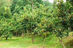 Frutta fresca del cachi sull'albero Immagine Stock Libera da Diritti