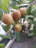 Frutta fresca del Longan Fotografia Stock Libera da Diritti