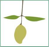 Frutta fresca del mango Fotografia Stock