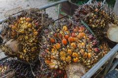 Frutta fresca dell'olio di palma immagine stock
