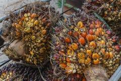 Frutta fresca dell'olio di palma immagine stock libera da diritti
