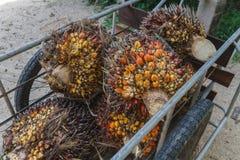 Frutta fresca dell'olio di palma fotografie stock libere da diritti